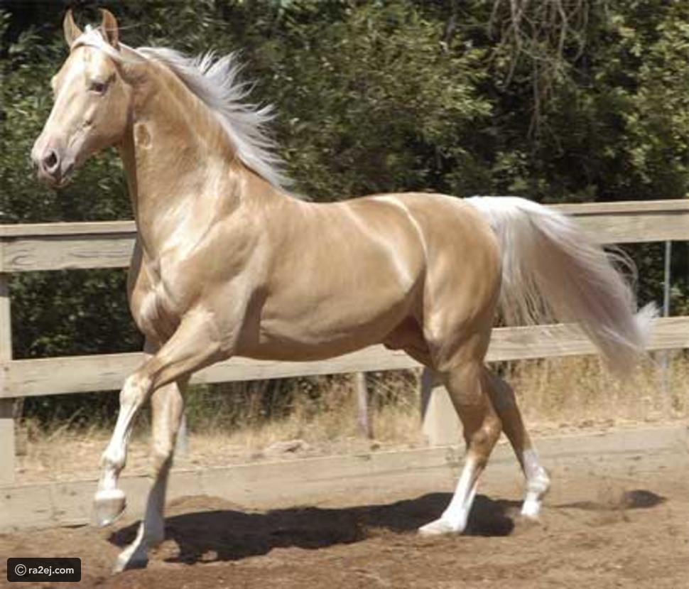 صور حصان الأكحل تيكي 2021 , صفات حصان الأكحل تيكي الغريبة 2021 , حصان  الأكحل تيكي بالصور 2021   منتديات حب البنات